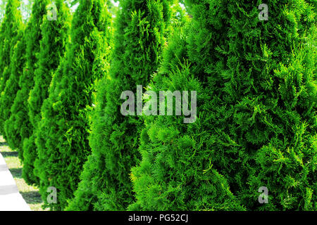 Thuja at the road in the summer. Decorative Thuya. - Stock Photo