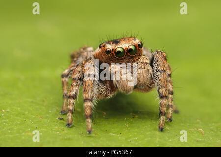 Jumping Spider (Evarcha falcata) male sitting on bramble leaf. Tipperary, Ireland - Stock Photo