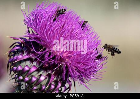 Worker bees on wild flower of milk thistle silybum marianum - Stock Photo