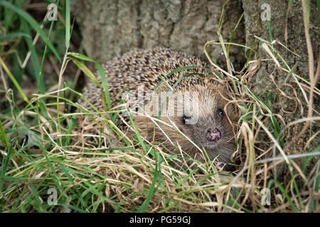 Close up profile of a hedgehog. It is foraging in the grass at the bottom of a tree trunk. It is peering through the grass - Stock Photo