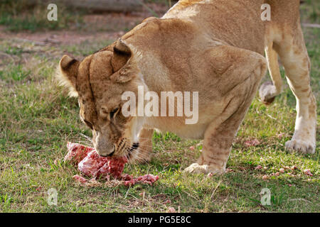 Lioness Panthera Leo At Feeding Time In The Drakenstein Lion Park