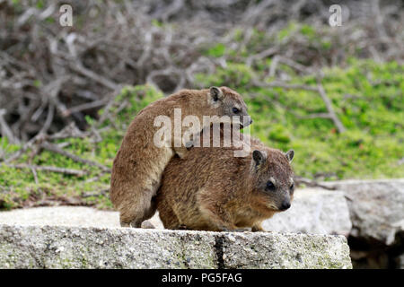 A young Rock hyrax (Procavia capensis) also known as Cape hyrax or Dassie climbing on it's mom at Stont Point Penguin Colony , South Africa. - Stock Photo