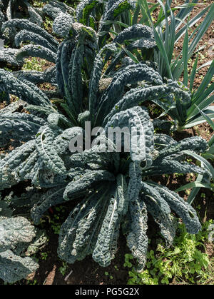 Kale Black Magic growing in an English garden in August and ready to start picking for culinary purposes - Stock Photo