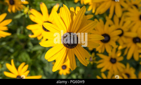 Detailed close-up of black-eyed Susan flower with shadow bisecting the flower - Stock Photo