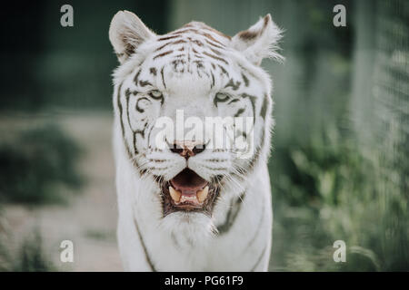 close up view of beautiful white bengal tiger at zoo - Stock Photo