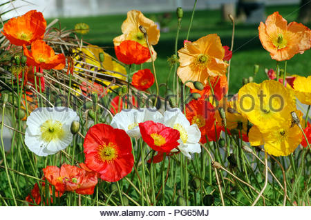 Blooming California Poppy Flower in different colors - Stock Photo