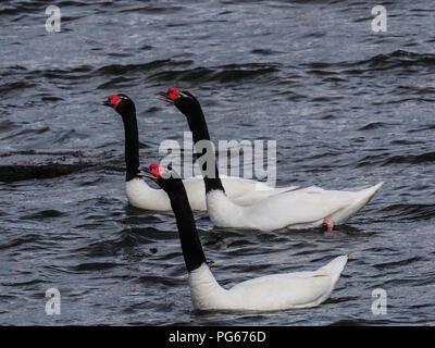 Black-necked swans (Cygnus melancoryphus) in Almirante Montt Gulf in Patagonia - Puerto Natales, Magallanes Region, Chile. - Stock Photo