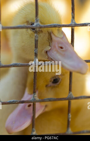 two cute ducklings sitting in a cage - Stock Photo