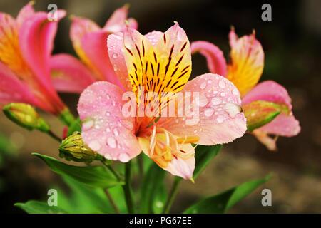 water drop flower - Stock Photo