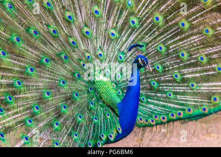 Close up shot of a Peacock