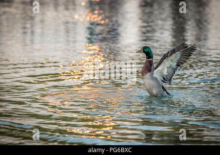 Male Mallard Duck flapping wings in water - Stock Photo