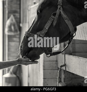 Male hand feeding a beautiful horse with a carrot on the local ranch black and white portrait - Stock Photo