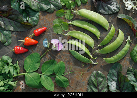 young green pod and flower  of pea,  mangold,   parsley,  coriander , chile  on iron backgrownd. - Stock Photo