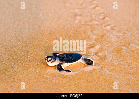 Horizontal close up of a baby turtle walking towards the sea in Sri Lanka. - Stock Photo