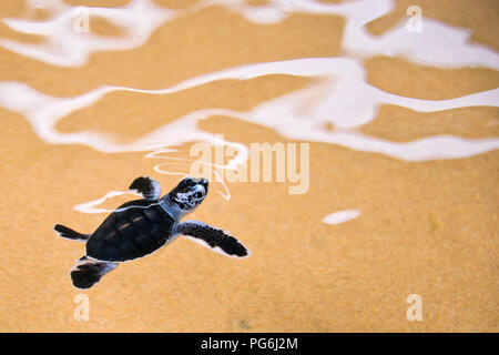 Horizontal close up of a baby turtle swimming in the sea in Sri Lanka. - Stock Photo