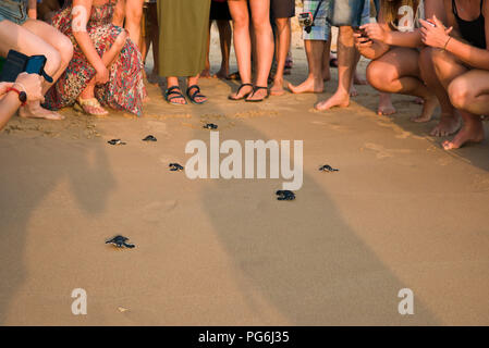 Horizontal view of baby turtles being released back to the wild in Sri lanka. - Stock Photo