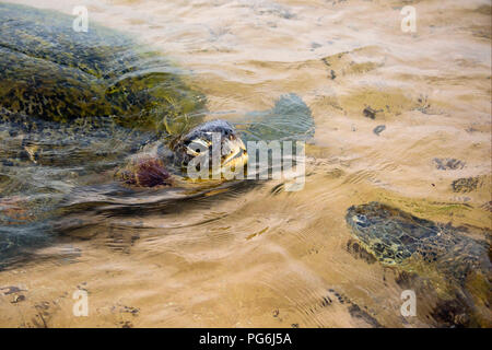 Horizontal close up of Green Turtles swimming in shallow water at the beach in Sri Lanka. - Stock Photo