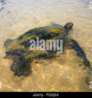 Square close up of a Green Turtle in shallow water in Sri Lanka. - Stock Photo