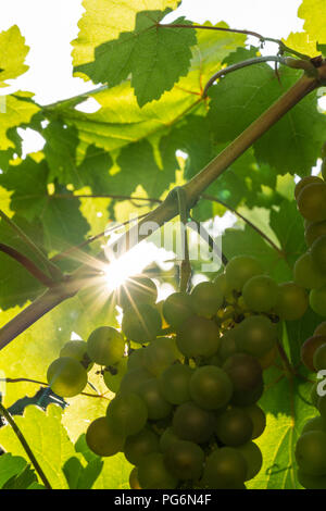 A star shaped sun shining through the leaves of the common grape vine (Vitis Vinifera) onto a bunch of white grapes in Austria - Stock Photo