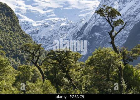 El Bosque Encantado, enchanted or Charmed Forest with Queulat Glacier, Carratera Austral, Queulat National Park, Cisnes, Aysen - Stock Photo