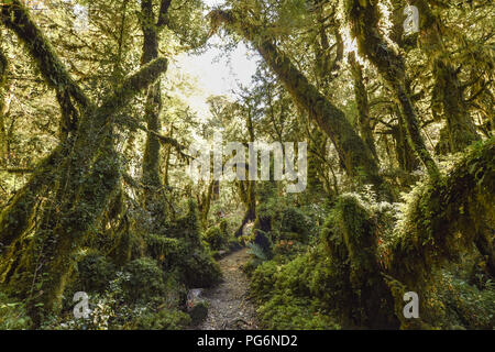 El Bosque Encantado, enchanted or bewitched forest, temperate rainforest with moss and lichen, Carratera Austral, Queulat - Stock Photo