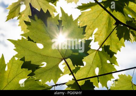 A star shaped sun shining through the leaves of the common grape vine (Vitis Vinifera) in Austria - Stock Photo
