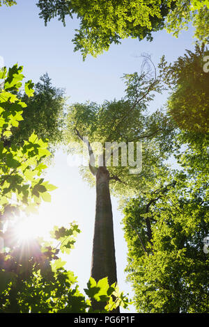 Germany, Leipzig, alluvial forest in spring at backlight - Stock Photo