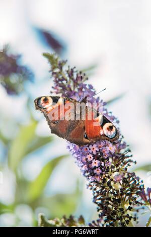 Peacock butterfly on a buddleja flower - Stock Photo