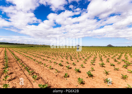 UK, Scotland, East Lothian, Scarecrow in a field of young Brussels Sprout (Brassica oleracea) plants - Stock Photo