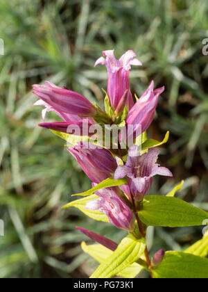 Attractive, pink flowered form of the hardy perennial willow gentian, Gentiana asclepiadea 'Rosea' - Stock Photo