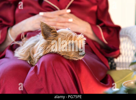 Pet Yorshire Terrier Resting on Owner's lap, USA - Stock Photo