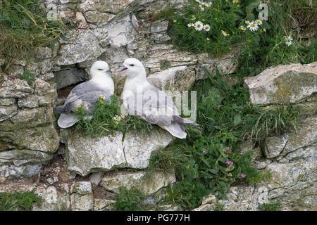Pair of Fulmar Nesting on Cliff - Stock Photo