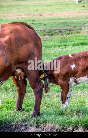 Calf Drinking With The Mother Calf At Zunderdorp Village The Netherlands 2018 - Stock Photo