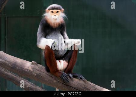 One Red-shanked douc eating leaf,monkey,animal, wildlife,Pygathrix nemaeus. - Stock Photo