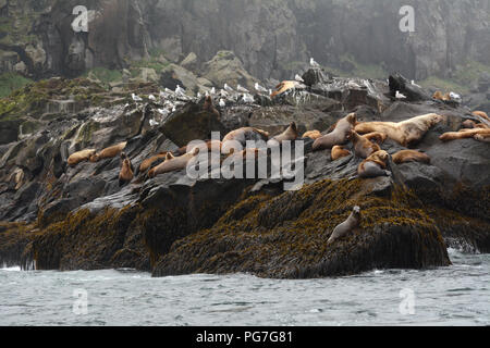 A colony of steller sea lions, including a large male, resting on a rookery during breeding season, in the Aleutian Islands, Bering Sea, Alaska. - Stock Photo