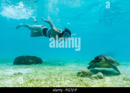 Hawksbill sea turtle feeding on sea weed grass in shallow water with a woman diver - Stock Photo
