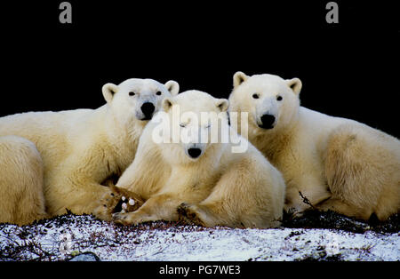 Polar bear family (sow with two yearling cubs; Ursus maritimus) resting in the shade of a cliff near Churchill, Manitoba, Canada - Stock Photo