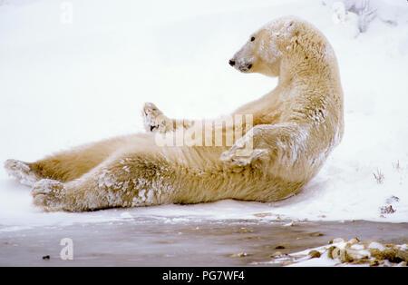 Polar bear (Ursus maritimus) lying on his back near Churchill, Manitoba, Canada - Stock Photo