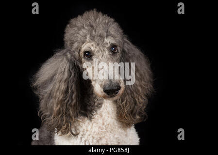 Portrait of poodle in front of black background - Stock Photo