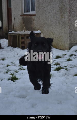 A lovable puppy running around and enjoying himself in a back garden during the heavy snowfall in Ireland earlier this year. His happiness is amazing. - Stock Photo