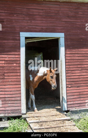 Horse sticking it's head out of a barn in the Palouse region of Washington - Stock Photo