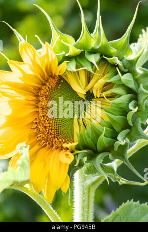 Helianthus annuus. Sunflower head opening with half of the petals closed in an english garden. UK - Stock Photo