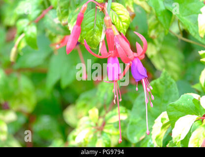 Light pink and lilac Fuschia flowers in late summer - variety unknown - Stock Photo