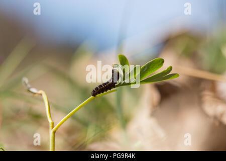 Clouded apollo caterpillar - Stock Photo