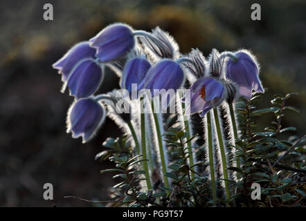 Rare and protected pulsatilla patens blooming deep in forest in southern  Finland - Stock Photo