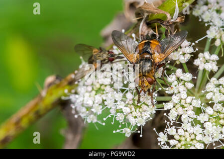 Parasite fly / tachinid fly / Tachina fera feeding on nectar from umbellifer flower in summer - Stock Photo