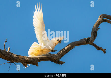 Little Corella balancing on a dead tree. - Stock Photo