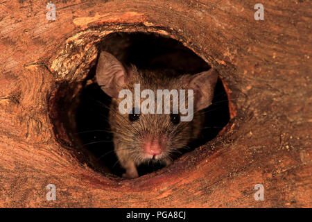 House mouse (Mus musculus), adult, looks out of knothole, watchful, curious, interested, cute, animal portrait, Germany - Stock Photo