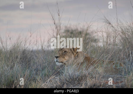 Lioness (Panthera leo), attentively lying in the grass and looking out, Hardap region, Namibia - Stock Photo