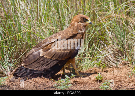 African marsh harrier (Circus ranivorus), young bird, Pilanesberg National Park, Pilanesberg Game Reserve, South Africa - Stock Photo